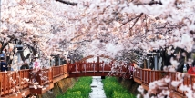 09 HARI KOREA SELATAN CHERRY BLOSSOM (MI/SQ)